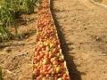 適合種植蕃茄