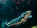 大型魚虎兇殘獵食的習性