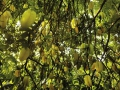 土種酸楊桃