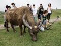 擎天崗曾寄養水牛