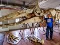 抹香鯨骨骼標本