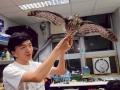 鳳頭蒼鷹標本