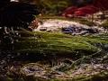 清洗與整理水蓮的細莖