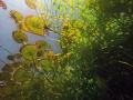 水面下的細莖