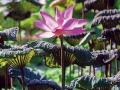 台北植物園荷花池